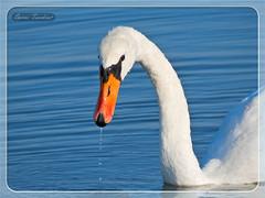 Το βλέμμα του Κύκνου !!! (Spiros Tsoukias) Tags: nationalpark flamingo hellas greece macedonia thessaloniki ελλάδα θεσσαλονίκη καλοχώρι μακεδονία axiosdelta αξιόσ κύκνοι πάπιεσ αλιάκμονασ κύκνοσ ερωδιοί δέλτααξιού αργυροπελεκάνοι φλαμίνγκο λευκοτσικνιάδεσ πελεκάνοσ φαλαρίδεσ γαλλικόσ φοινικόπτερα εθνικόπάρκο λουδίασ γεράκια αργυροτσικνιάδεσ βαρβάρεσ υδρόβιαπτηνά sunset sea mountains nature birds animals sunrise lakes rivers plains ζώα ηλιοβασίλεμα φύση θάλασσα βουνά πουλιά ποτάμια ποταμοί γλάροσ λίμνεσ κορμοράνοσ σταχτοτσικνιάσ χουλιαρομύτα ανατολήηλίου καλαμοκανάσ αβοκέτα κοκκινοσκέλησ ποταμογλάρονα πεδιάδεσ εχέδωροσ λιμνοθάλασσεσ στρειδοφαγοσ