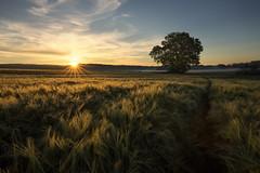Cornfield sunrise (Sebo23) Tags: sunrise sonnenstrahlen sonnenaufgang sunrays licht lichtstimmung lichtschatten landschaftsaufnahme landschaft landscape landscapephotography naturaufnahme natur nature kornfeld cornfield canoneosr canon16354l