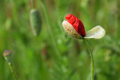 Eclosion (Croc'odile67) Tags: nikon d3300 sigma contemporary 18200dcoshsmc fleurs flowers coquelicots poppies nature