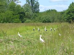 Cagnotte, Landes (Marie-Hélène Cingal) Tags: cagnotte landes 40 paysdorthe aquitaine nouvelleaquitaine sudouest france cigognes storks «tchanqués» échassiers