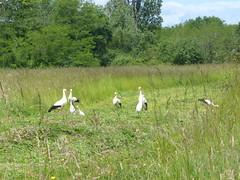 Cagnotte, Landes (Marie-Hélène Cingal) Tags: cagnotte landes 40 paysdorthe aquitaine nouvelleaquitaine sudouest france cigognes storks