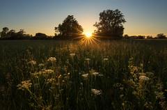 white flower sunset (Sebo23) Tags: sunrays sunset sommer sonnenstrahlen sonnenuntergang light lichtstimmung abendstimmung landschaftsaufnahme landscape naturaufnahme natur nature canoneosr canon16354l