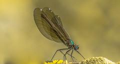Kisasszony-szitakötő (Calopteryx virgo) (Torok_Bea) Tags: kisasszonyszitakötő calopteryxvirgo d7200 dragonfly szitakötő wonderful wild wildanimal nikon nikond7200 natur nature nationalpark aggtelekihegység aggtelekinemzetipark jósvafő amazing insect tamron tamron18400
