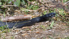 Black Adder (image 3 of 3) (Full Moon Images) Tags: rspb minsmere wildlife nature reserve reptile black adder
