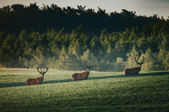 The three gentlemen (robert.lindholm87) Tags: canon eos 1d 1dseries 1dmarkiv sigma sigmasport canonnordic telephoto deer stag stags reddeer red nature wildlife three green sweden summer june lightroom edit editing wallpaper morning horn horns animal animals