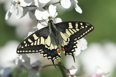 Swallowtail (papilio machaon) (mrm27) Tags: swallowtail papiliomachaon papilio strumpshaw strumpshawfen rspbstrumpshawfen strumpshawfenrspb rspb norfolk
