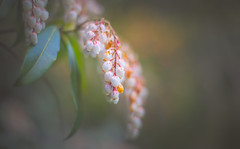 Arbutus Unedo flower (Dhina A) Tags: sony a7rii ilce7rm2 a7r2 a7r smc pentax m 50mm f17 pentaxm50mmf17 bokeh manual kmount legend manualfocus arbutus unedo flower