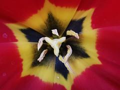 Beautiful colourful tulip (janettehall86) Tags: redtulips red tulip tulips beautiful yellow black flowercentre centre gardenflower gardenflowers garden botany botanical floral fleur flowersandcolours colours naturephotography nature flickr flickrcentral macroflowers macrophotography macro petals photography photo springflower springflowers spring flowersarebeautiful awesome pretty beauty beautifulredtulip