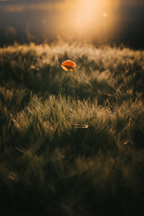 First poppy this year (der_peste (on/off)) Tags: poppy flower bokeh backlight summer summerevening orange light sunset sundown fieldofcorn dof depthoffield
