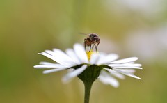 a fly on a daisy (conall..) Tags: fly diptera nikon afs nikkor f18g lens 50mm prime primelens nikonafsnikkorf18g closeup raynox dcr250 macro county down tullynacree nw551041 annacloy field northernireland bellis perennis common daisy asteraceae flower flowerhead composite siphona sp tachinidae siphonasp