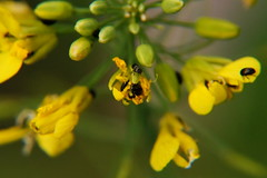 Small visitors... (Steenjep) Tags: blomst flower macro makro closeup raps rape bille glimmerbøsse commonpollenbeetle brassicogethesaeneus beetle dof