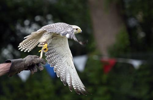 Bird of Prey take off