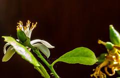6M7A6063 (hallbæck) Tags: lemonflower citronblomst babycitroner babylemons fragrantlemonflower citruslemon fleur blume blomst fiore blomma macro mh hørsholm denmark canoneos5dmarkiii ef100mmf28lmacroisusm macrounlimited