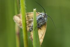 Moth (Sebo23) Tags: naturaufnahme natur nature macro makrofotografie insekt canoneosr canon10028l