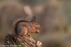 Red Squirrel (stanley.ashbourne) Tags: redsquirrel red squirrel nature wildlife scotland stanashbourne wildlifephotography