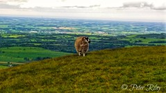 Sheep overlooking northern England. (peterileypics) Tags:
