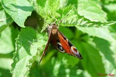 Paon du jour  (1) (Ezzo33) Tags: france gironde nouvelleaquitaine bordeaux ezzo33 nammour ezzat sony rx10m3 parc jardin papillon papillons butterfly butterflies paondujour aglaisiopeacock