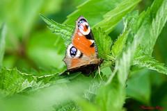 Paon du jour  (3) (Ezzo33) Tags: france gironde nouvelleaquitaine bordeaux ezzo33 nammour ezzat sony rx10m3 parc jardin papillon papillons butterfly butterflies paondujour aglaisiopeacock