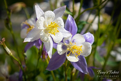 May 29, 2019 - Blooming columbines in Thornton. (Tony's Takes)