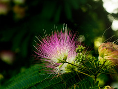 Mimosa stamens (cizauskas) Tags: flower bloom blossom tree spring invasive path trail decatur georgia closeup bokeh canon canonfd legacylens manualfocus fotodiox pickoftheweek botany