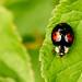 Red Ringed Ladybird