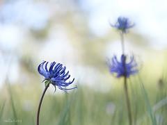 Phyteuma_orbiculare-Fiteuma-03 (Toni Lluch) Tags: olympusomdem5ii mzuiko60mmmacro macro flower