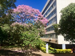 Bucolic blossoms . . . (ericrstoner) Tags: ipê sqs209 brasília distritofederal trumpettree ipêroxo luciocosta