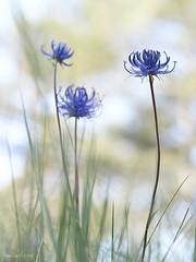 Phyteuma_orbiculare-Fiteuma-05 (Toni Lluch) Tags: olympusomdem5ii mzuiko60mmmacro macro flower