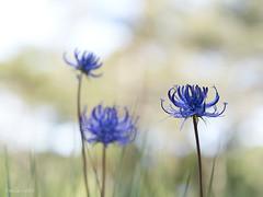 Phyteuma_orbiculare-Fiteuma-04 (Toni Lluch) Tags: olympusomdem5ii mzuiko60mmmacro macro flower