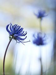 Phyteuma_orbiculare-Fiteuma-02 (Toni Lluch) Tags: olympusomdem5ii mzuiko60mmmacro macro flower