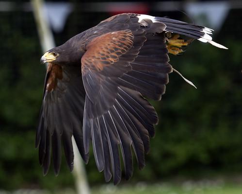 Harris Hawk f