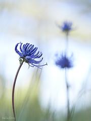 Phyteuma_orbiculare-Fiteuma-01 (Toni Lluch) Tags: olympusomdem5ii mzuiko60mmmacro macro flower
