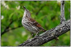 Brown thrasher (RKop) Tags: eastforklake ohio raphaelkopanphotography 600mmf4evr 14xtciii d500 nikon