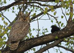 Great Horned Owl...#6 (Guy Lichter Photography - 5.1M views Thank you) Tags: canon 5d3 canada manitoba winnipeg wildlife animal animals bird birds owl owls greathornedowl
