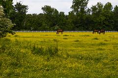 Virginia landscape (bhermann.hamburg) Tags: virginia landscape horses bluehendewiese wiese gelb yellow landschaft gruen green