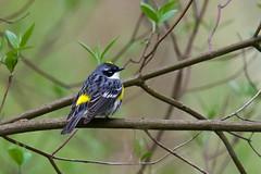 Yellow-rumped Warbler (Myrtle)_Setophaga coronata (Kremlken) Tags: setophagacoronata warblers spring migration westernpa pennsylvania birds birding birdwatching nikon500