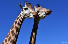 Cou cou au Zoo de Mervent !!! (François Tomasi) Tags: girafes girafe animal animaux zoo zoodemervent mervent françoistomasi tomasiphotography justedutalent yahoo google flickr parc parczoologique reflex nikon digital numérique iso filtre lights light lumière colors color couleurs couleur photo photographie photography photoshop pointdevue pointofview pov 2019 vendée