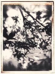 IMG_1819 (onurbayic) Tags: iphone flower plant monochorome blackandwhitephoto retro dramatic leaf twig istanbul past discoloration vintage black sepia painterly