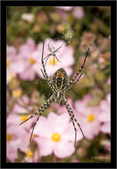 two spiders befor marriage (Dierk Topp) Tags: macro blumen insects nikond70 spider zistrosen