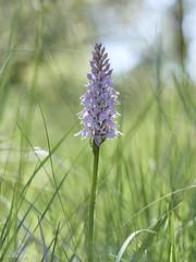Dactylhoriza fuchsii (Toni Lluch) Tags: olympusomdem5 mzuiko60mmmacro macro