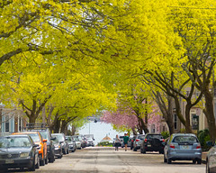 Spring Trees on Morning Street on Munjoy Hill (Corey Templeton) Tags: city eastend maine morningstreet munjoyhill newengland portland portlandmaine