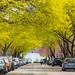 Spring Trees on Morning Street on Munjoy Hill