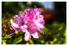 Rhododendron (Sony_Fan) Tags: sony alpha 6000 2019 blossom rhododendron sun light spring germany thomas umbach schwelm sigma 30mm14 contemporary bokeh outdoor nature color colorful