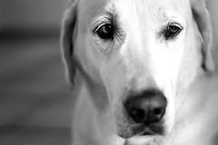Iva (glaserei) Tags: labrador labi goldie retriever hund hunde iva haustier