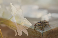 Beauty and the Beast... (Maria Godfrida) Tags: smileonsaturday twoinone nature flora fauna doubleexposure closeup macro bokeh flower plant white animal spider insect brown amaryllis jumpingspider