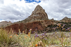 Capitol Dome in Capitol Reef National Park (aaronrhawkins) Tags: capitolreef dome capitol national park hike rural desert southwestern rock formation tower mountain cliff canyon wildflower orange purple springtime exploration utah aaronhawkins