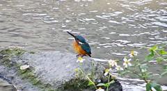 DSC00908 (phenixliu68) Tags: kingfisher 翠鳥 魚狗 bird nature 鳥 動物 戶外 野生 生態攝影