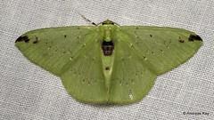 Geometer Moth, Nemoria erina, Geometridae (Ecuador Megadiverso) Tags: andreaskay ecuador geometermoth geometridae moth wildsumaco nemoriaerina