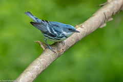 CA3I9916-Cerulean Warbler (tfells) Tags: ceruleanwarbler bird nature pennsylvania wildlife delawarewatergap songbird setophagacerulea