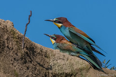 European bee-eaters mating. (Ciminus) Tags: accoppiamento naturesubjects aves ornitologia nikond500 ciminus birds ciminodelbufalo gruccione wildlife mating oiseaux afsnikkor500mmf4gedvrii meropsapiaster ornitology nature uccelli coth5 specanimal specanimalphotooftheday